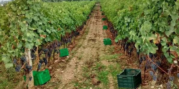 Marco de plantación del viñedo Sameirás