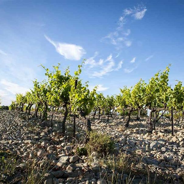 Cepas del viñedo de La Florane